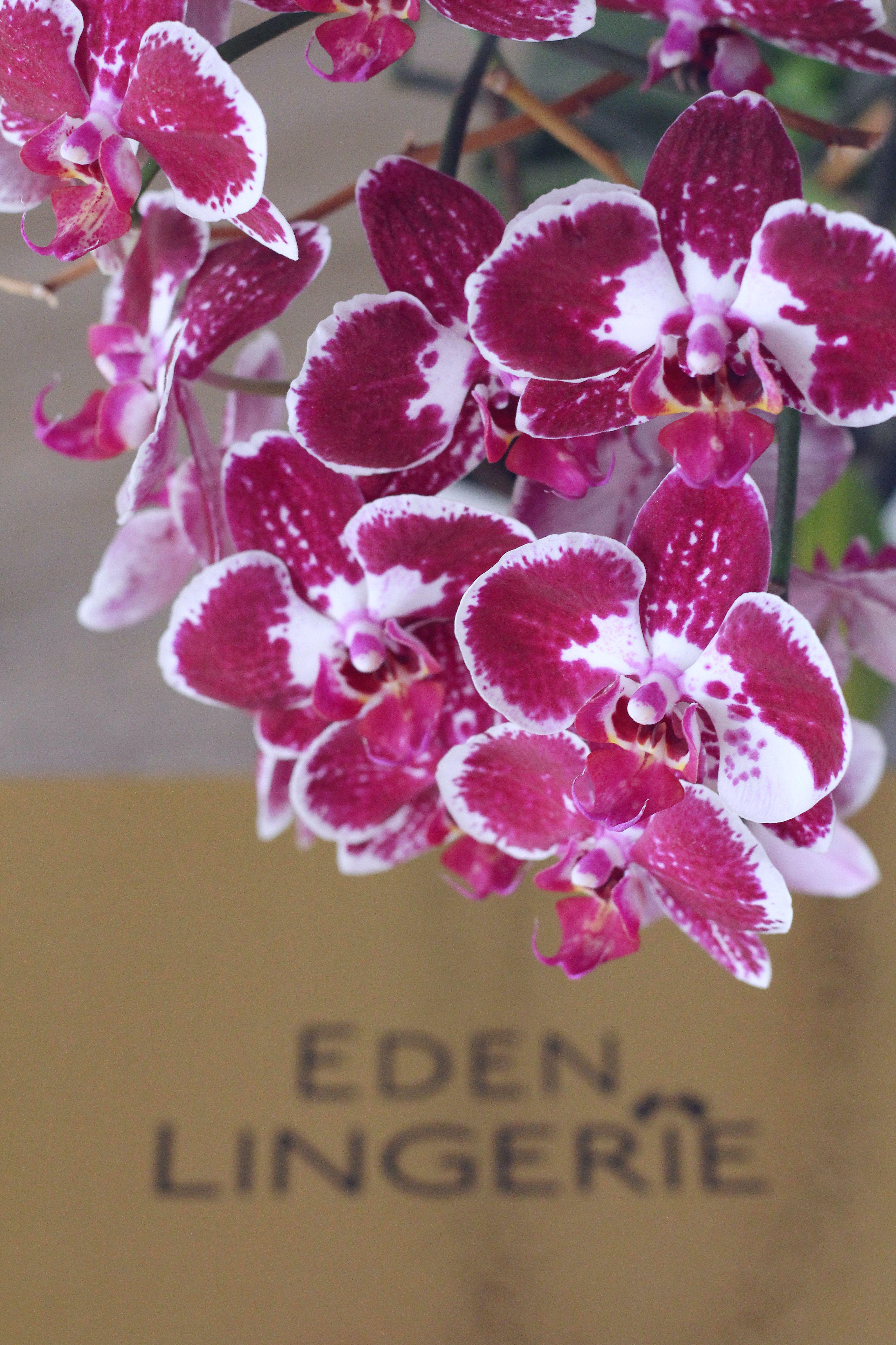 orhidee eden lingerie